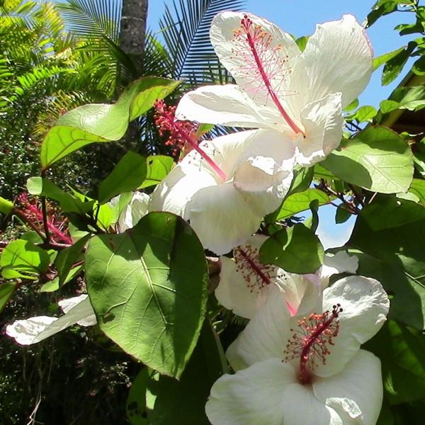 White Hibiscus at Personal Tao Retreats in Hawaii
